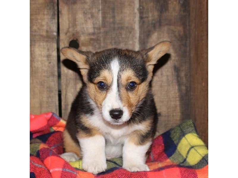 Pembroke Welsh Corgi-Male-Black White / Tan-2527267-Petland Mall of Georgia