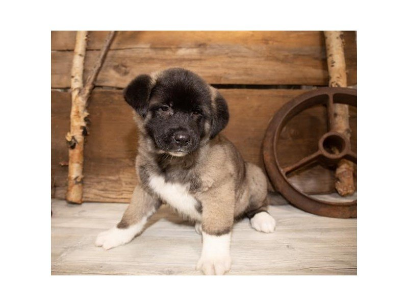 Akita-Male-Silver-2534336-Petland Mall of Georgia