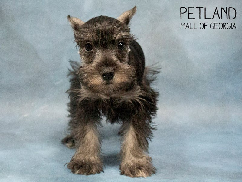 Miniature Schnauzer-Female-SALT PEPPER-2469557-Petland Mall of Georgia