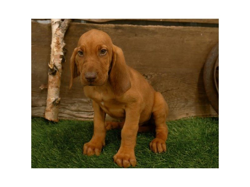 Bloodhound-Male-Red-2500638-Petland Mall of Georgia