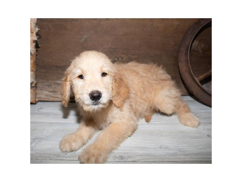 Goldendoodle-Male-Golden-2520620-Petland Mall of Georgia