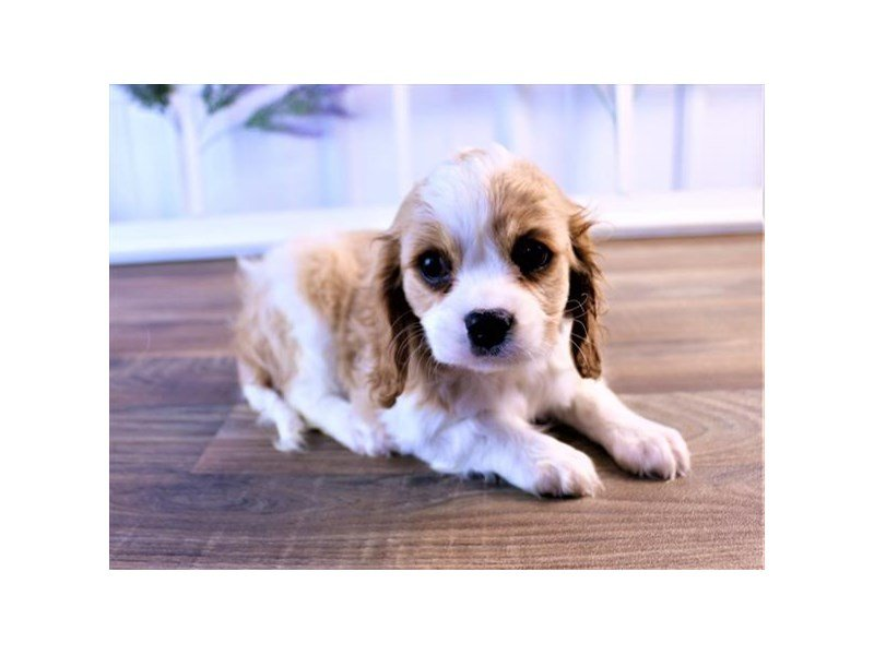 Cavalier King Charles Spaniel-Female-Blenheim-2520625-Petland Mall of Georgia