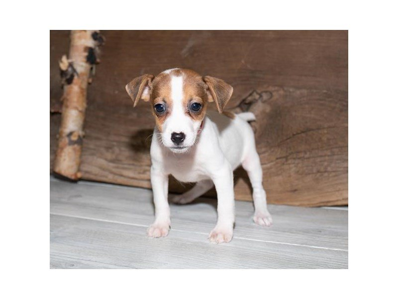 Jack Russell Terrier-Male-White-2520632-Petland Mall of Georgia