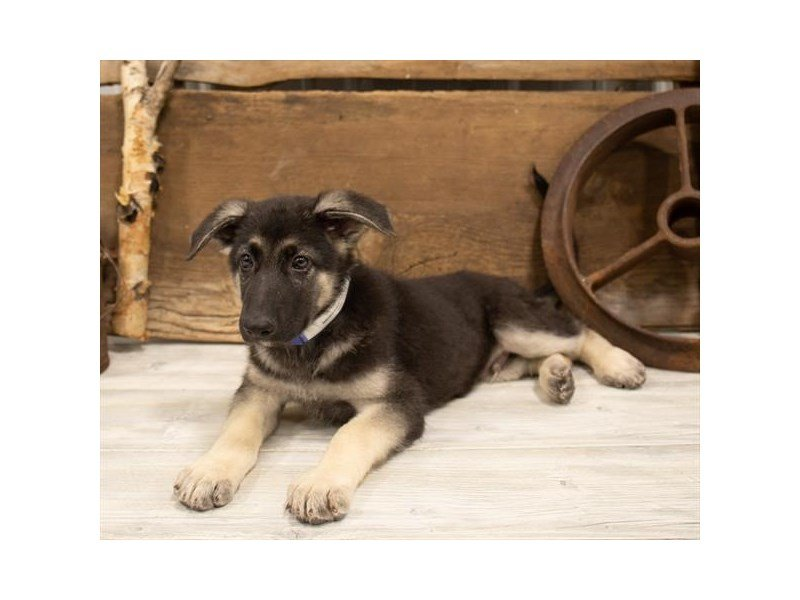 German Shepherd Dog-Male-Black / Tan-2520649-Petland Mall of Georgia