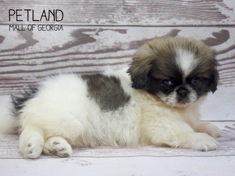 Pekingese-Female-Cream Sable-2520672-Petland Mall of Georgia