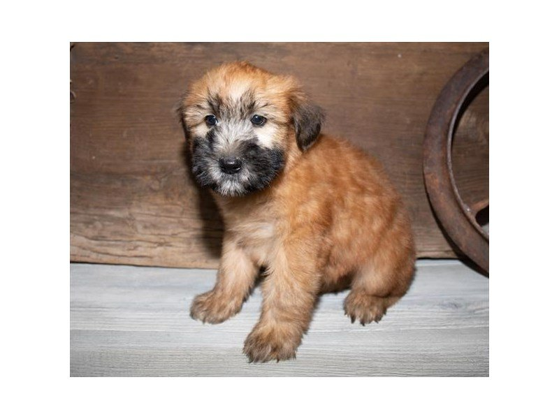 Soft Coated Wheaten Terrier-Male-Wheaten-2527266-Petland Mall of Georgia