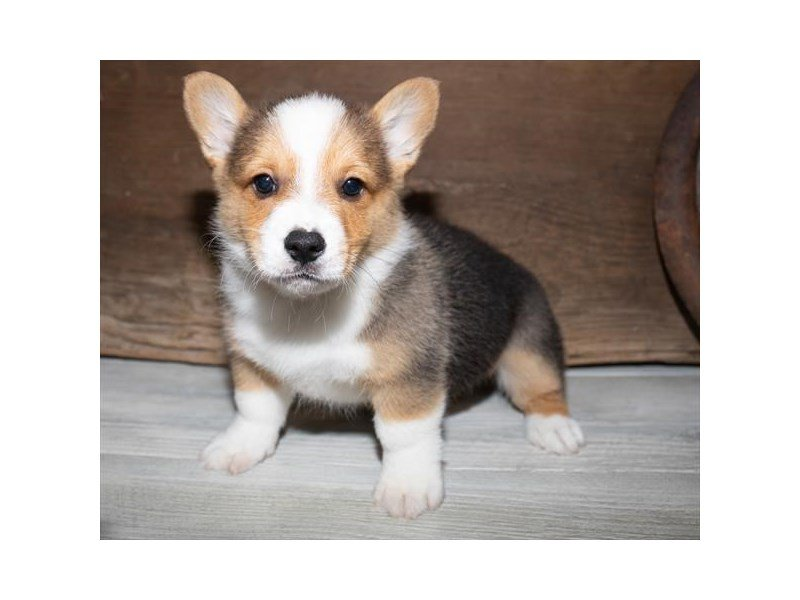 Pembroke Welsh Corgi-Male-Black White / Tan-2527269-Petland Mall of Georgia