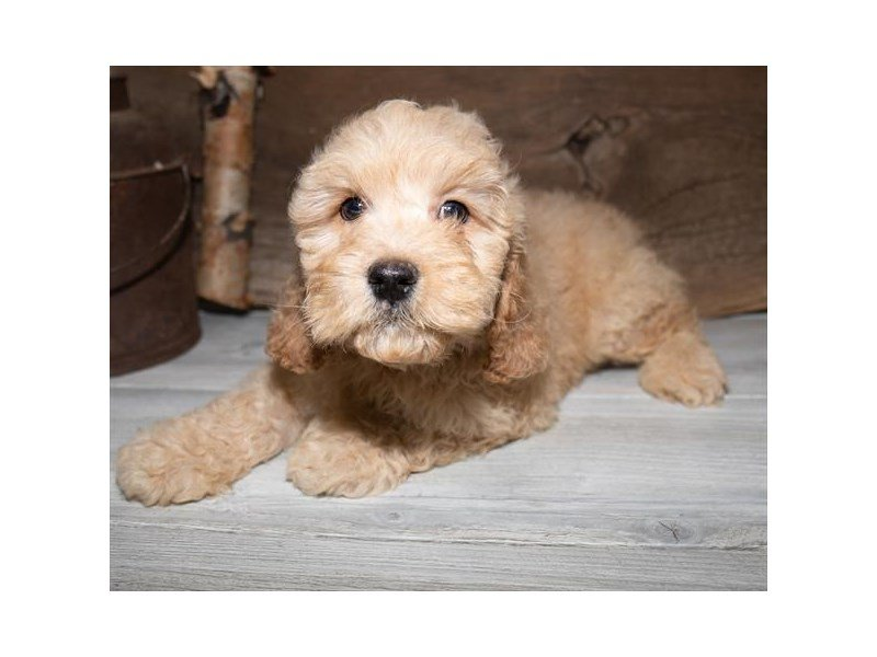 Cockapoo-Male-Buff-2527301-Petland Mall of Georgia