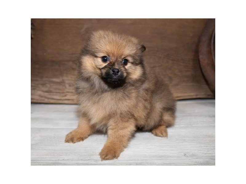 Pomeranian-Male-Red Sable-2534237-Petland Mall of Georgia