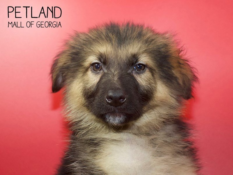 German Shepherd Dog-DOG-Male-Black / Tan-2551375-Petland Mall of Georgia