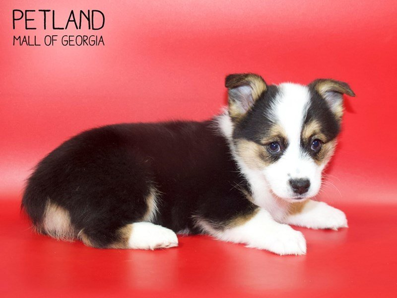 Pembroke Welsh Corgi-Female-Black-2551353-Petland Mall of Georgia