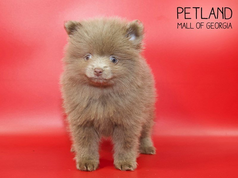 Pomeranian-Female-Chocolate-2551372-Petland Mall of Georgia