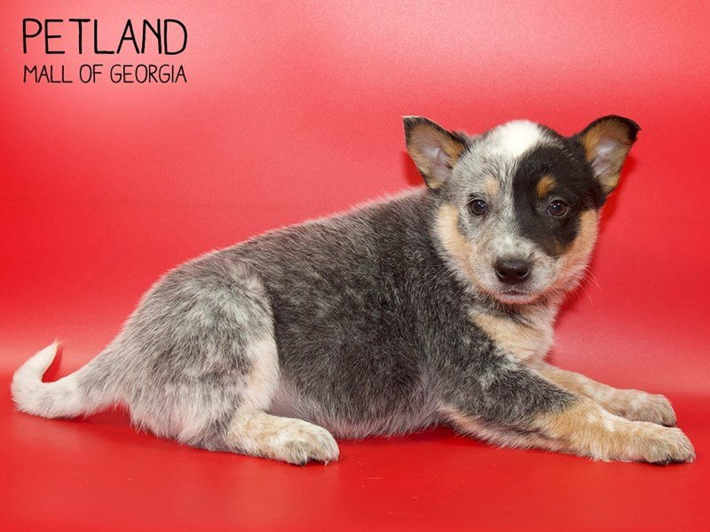 Australian Cattle Dog-DOG-Female-Blue Merle-2551349-Petland Mall of Georgia