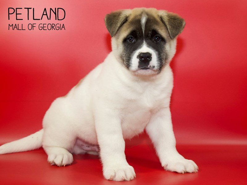 Akita-Male-Fawn-2551348-Petland Mall of Georgia