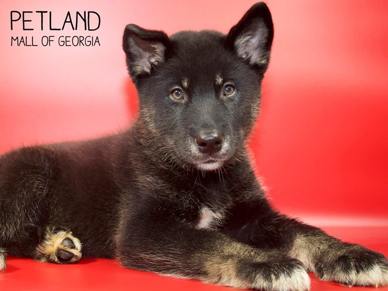 Alaskan Malamute-Male-Black-2551347-Petland Mall of Georgia