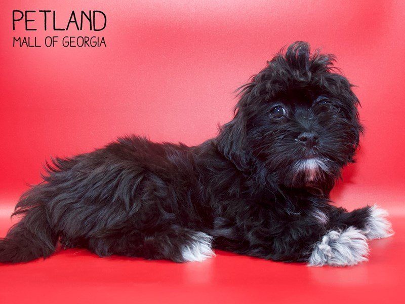 Havanese-Female-BLK WHITE-2530515-Petland Mall of Georgia