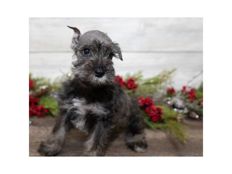 Miniature Schnauzer-Male-Salt / Pepper-2558135-Petland Mall of Georgia