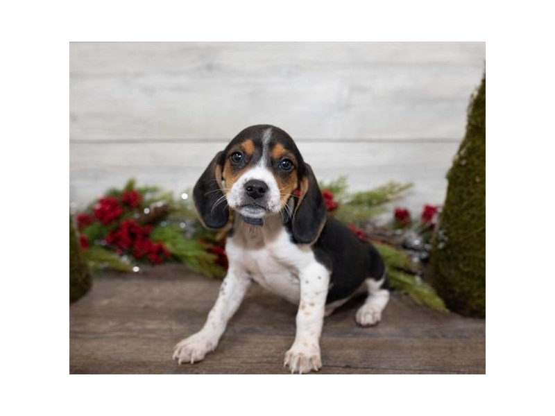 Beagle-Male-Black White / Tan-2558263-Petland Mall of Georgia