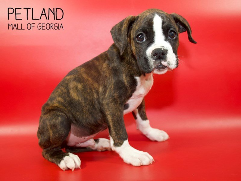 Boxer-Male-Brindle-2558134-Petland Mall of Georgia