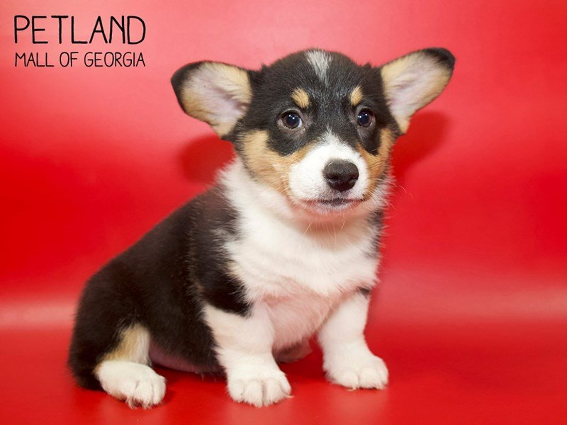 Pembroke Welsh Corgi-Female-TRI-2553691-Petland Mall of Georgia