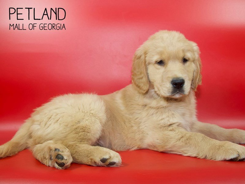 Golden Retriever-Male-Golden-2553603-Petland Mall of Georgia