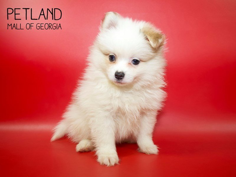 Pomeranian-Male-Cream-2564532-Petland Mall of Georgia