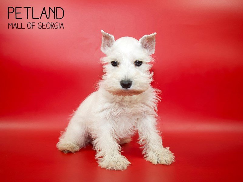 Miniature Schnauzer-Female-White-2564534-Petland Mall of Georgia