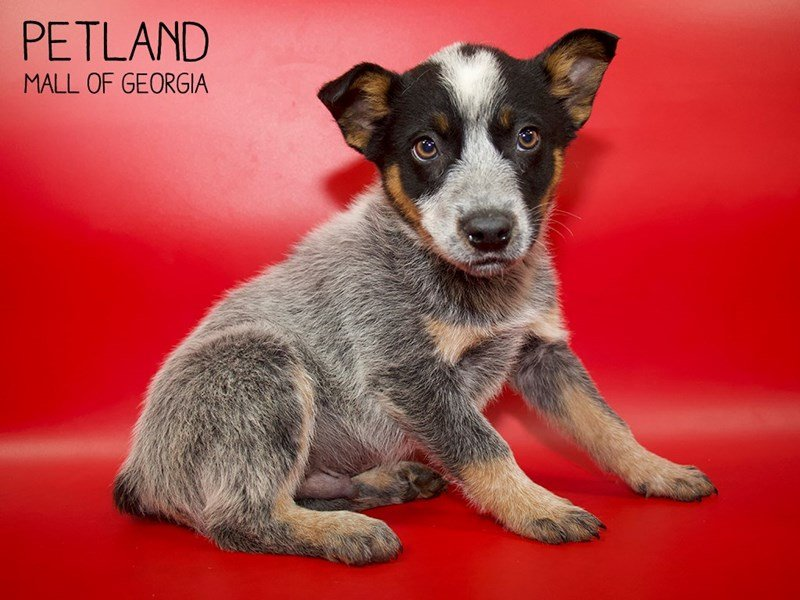 Australian Cattle Dog-Male-Blue Merle-2564526-Petland Mall of Georgia