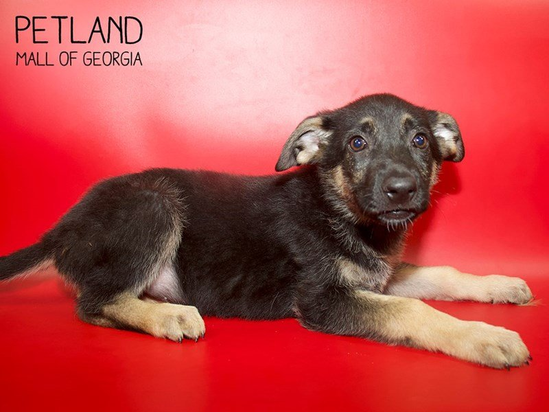 German Shepherd Dog-Female-Black / Tan-2564518-Petland Mall of Georgia