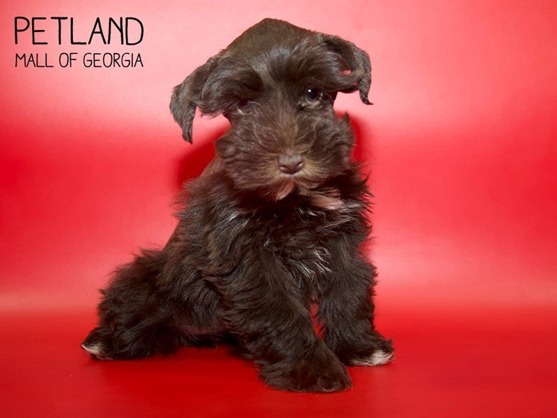 Miniature Schnauzer-Female-LIVER WHITE-2561183-Petland Mall of Georgia
