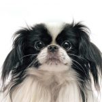 Petland Mall of Georgia Japanese Chin