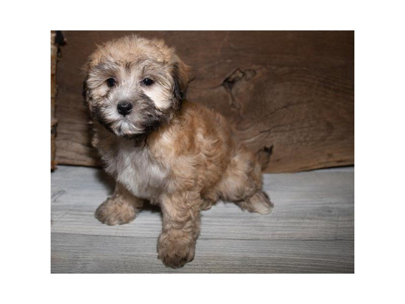 Havanese-DOG-Female-Gold-2527261-Petland Mall of Georgia