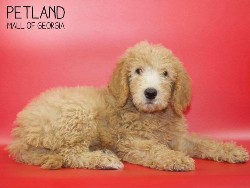 Goldendoodle-Female-Red-2551438-Petland Mall of Georgia