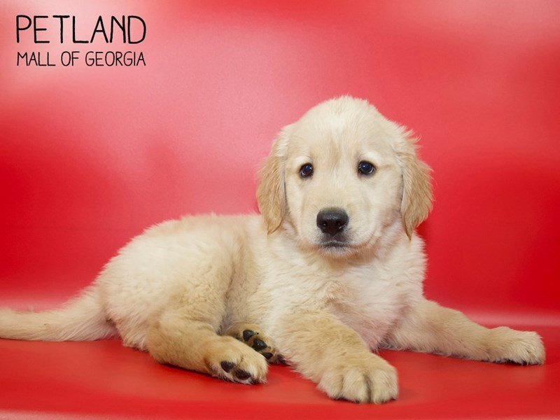 Golden Retriever-Male-Golden-2551437-Petland Mall of Georgia