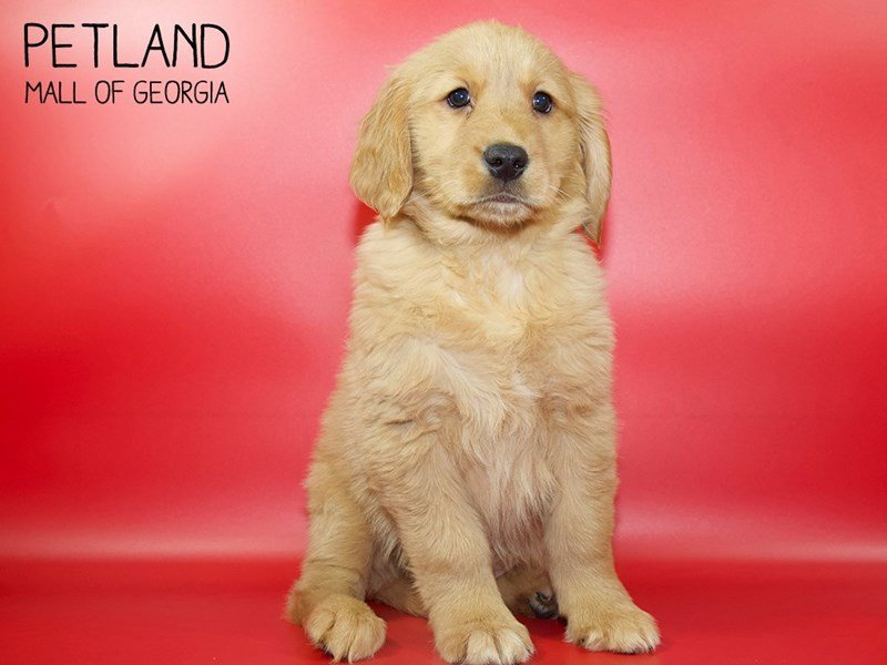 Golden Retriever-Female-Golden-2551435-Petland Mall of Georgia