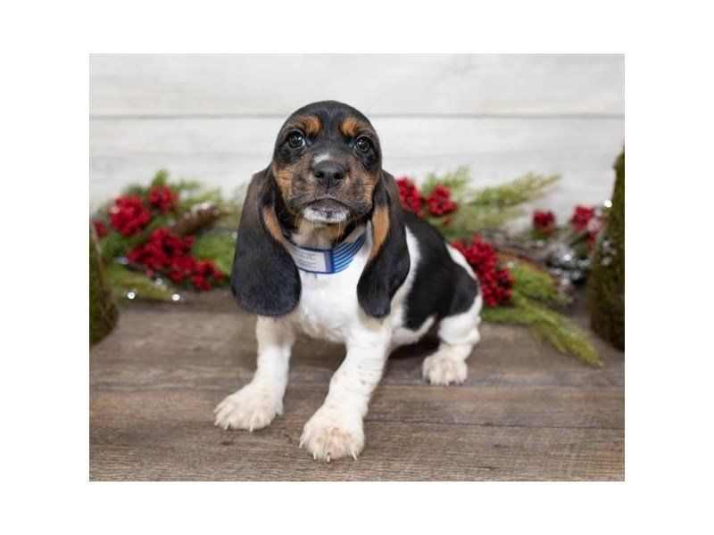 Basset Hound-DOG-Male-Black White / Tan-2558143-Petland Mall of Georgia