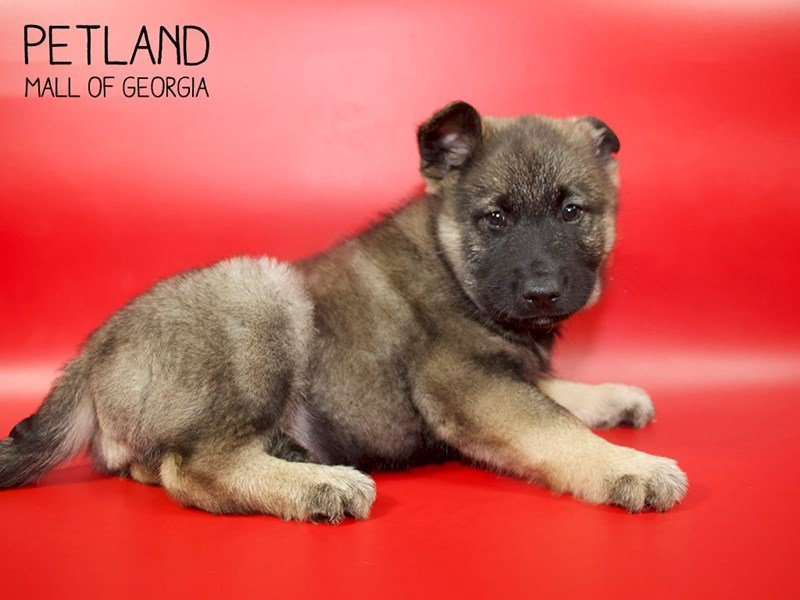 Norwegian Elkhound-Male-Silver-2558299-Petland Mall of Georgia