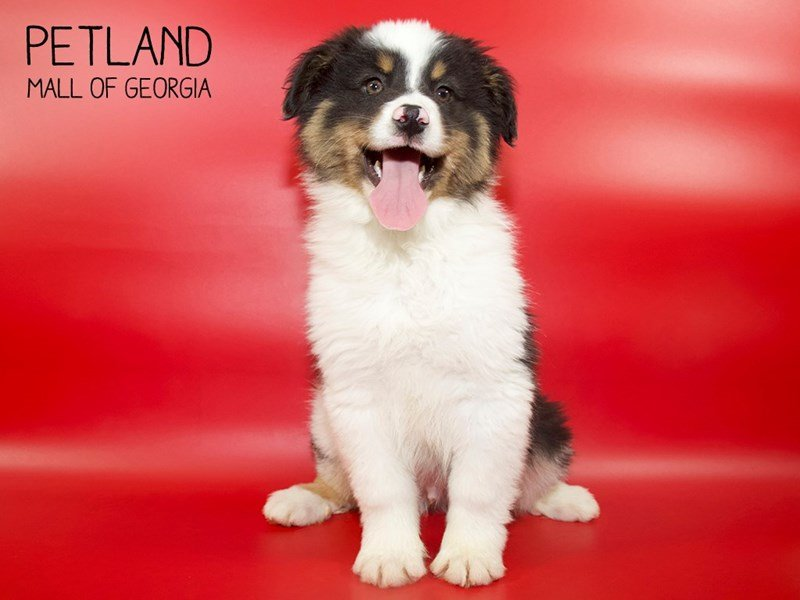 Australian Shepherd-DOG-Male-Black-2558137-Petland Mall of Georgia
