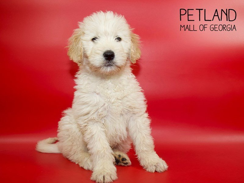 Goldendoodle-Male-Golden-2554046-Petland Mall of Georgia