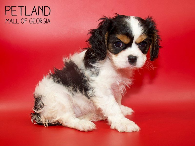 Cavalier King Charles Spaniel-Female-Black-2564901-Petland Mall of Georgia