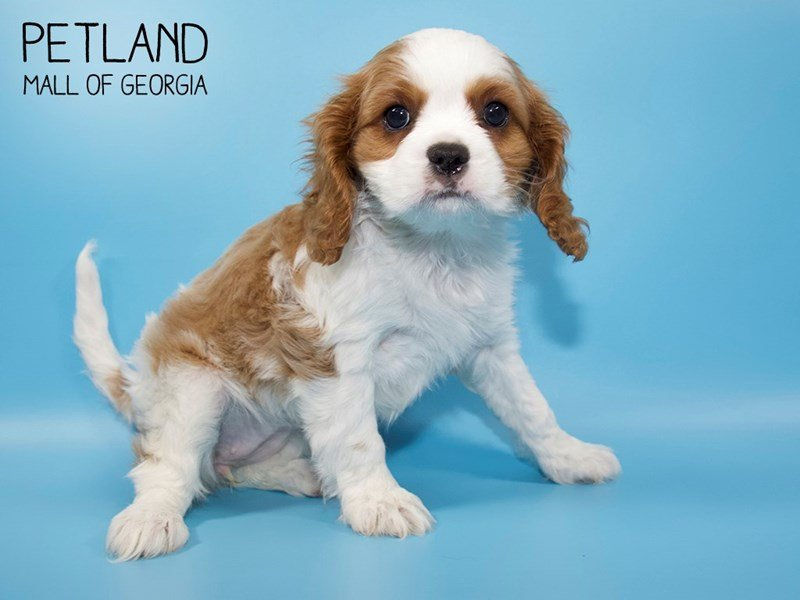 Cavalier King Charles Spaniel-Female-Blenheim-2572250-Petland Mall of Georgia