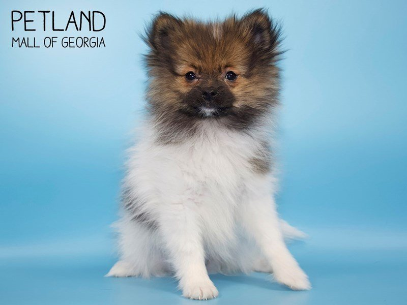 Pomeranian-Female-White/Brown-2572245-Petland Mall of Georgia