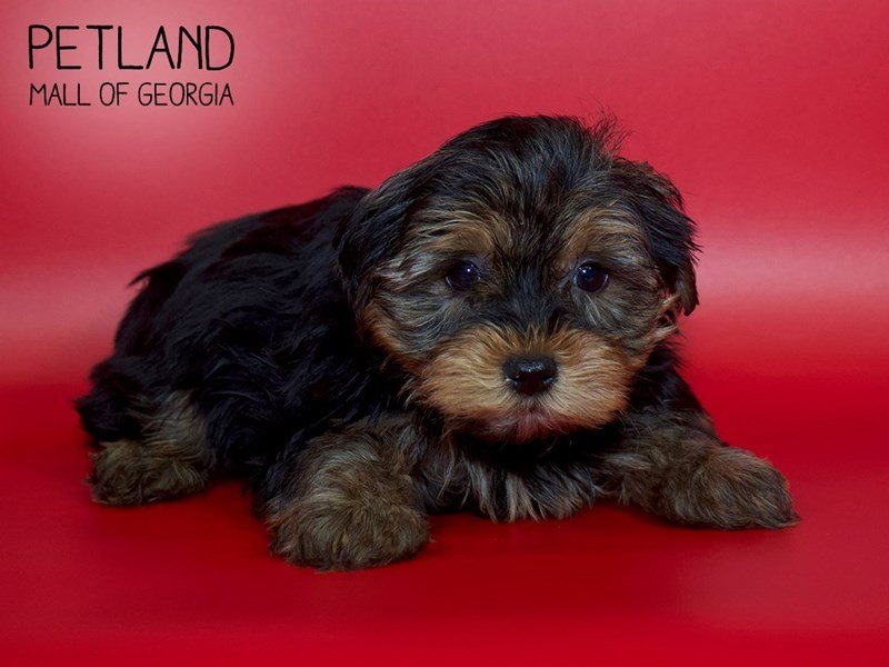 Yorkshire Terrier-Male-Blk-Tan-2588177-Petland Mall of Georgia