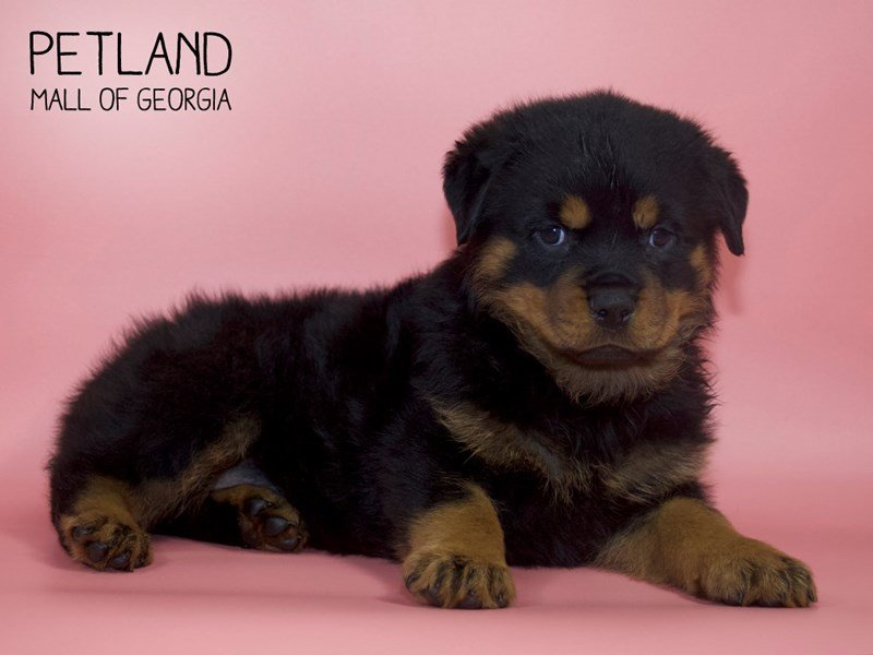 Rottweiler-Female-Black / Rust-2599697-Petland Mall of Georgia