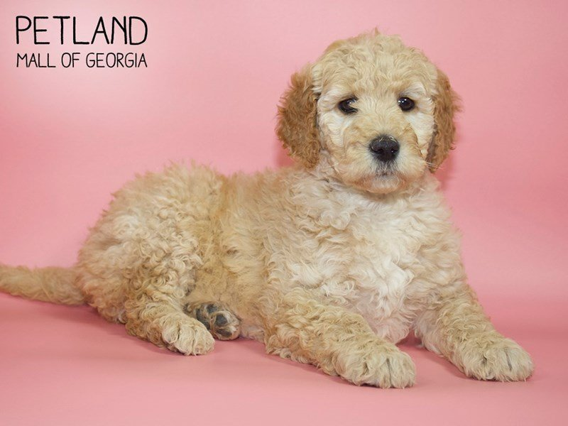 Goldendoodle 2nd Gen-Female-Golden-2599689-Petland Mall of Georgia