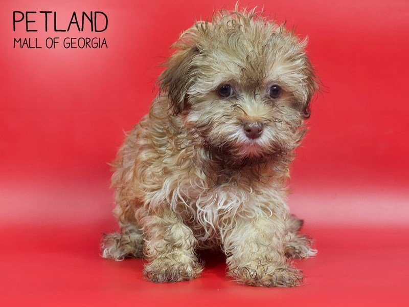 Havanese-Male-Fawn Sable-2593135-Petland Mall of Georgia
