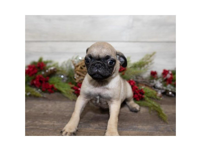 Pug-Male-Fawn-2558345-Petland Mall of Georgia