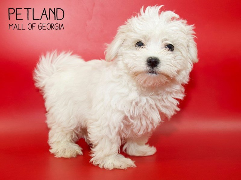 Maltese-Male-White-2553525-Petland Mall of Georgia
