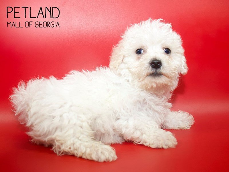Bichon Frise-Male-White-2564523-Petland Mall of Georgia