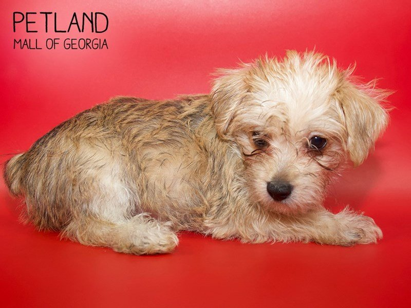Morkie-Female-BEIGE-2561086-Petland Mall of Georgia